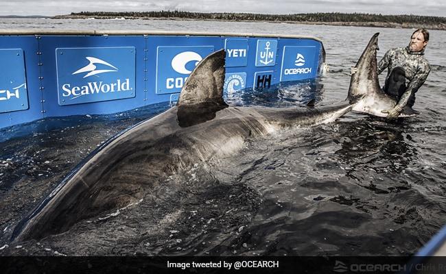 Video: Massive 17-Foot White Shark Dubbed 'Queen Of The Ocean'