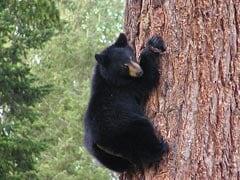 पेड़ पर चढ़कर भालू ने निकालीं अजीबोगरीब आवाजें, देखकर लोगों के उड़े होश - देखें Viral Video