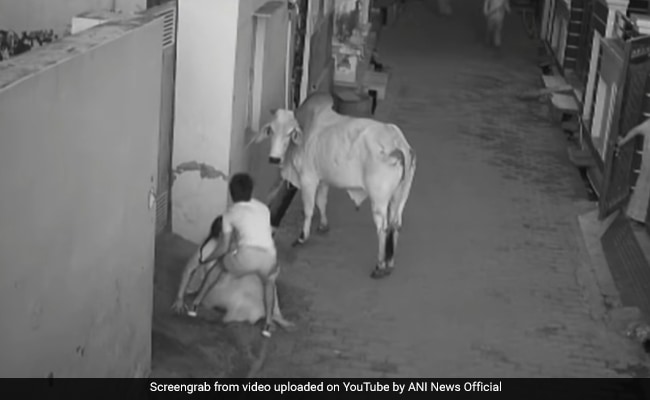 Mad Bull Knocks Down Haryana Woman, Attacks Her Grandson In Shocking Video