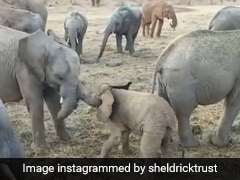 """""""Little Menace"""": 2-Month-Old Elephant Tries To Fight Older Ones In LOL Video"""