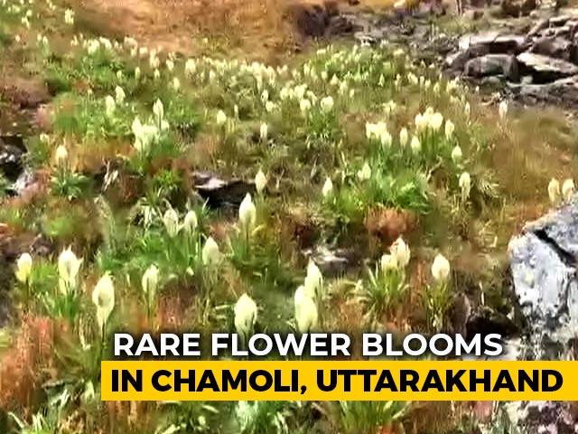 Video : Watch Rare Brahma Kamal Flower Bloom In Uttarakhand's Snow-Clad Chamoli