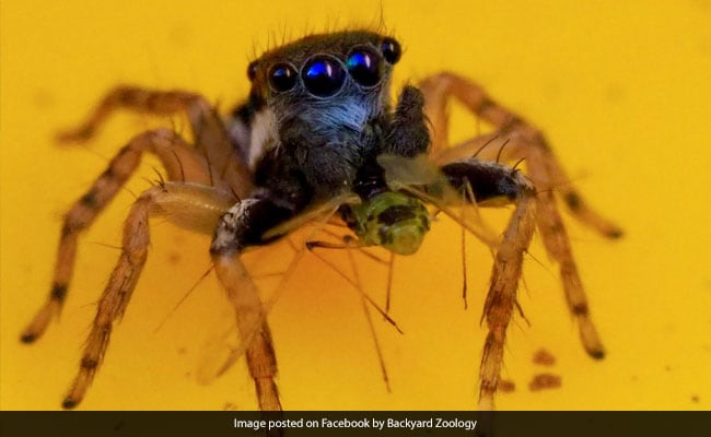Woman Discovers New Species Of Spider In Backyard. It's Blue With 8 Eyes