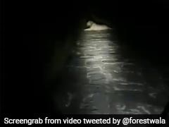 Gir Forest Guard, Going Home At Night, Finds Lion On Road. Watch