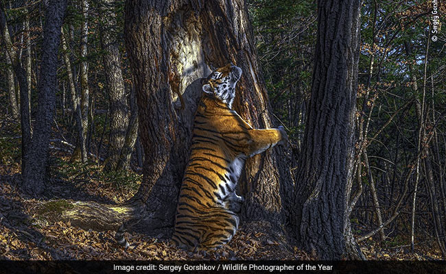Wildlife Photographer Of The Year: Tree-Hugging Tiger And Other Winners Of 2020