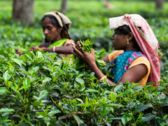 "Assam Tea Garden Owners At ""Liberty"" To Decide On Wage Hike: High Court"