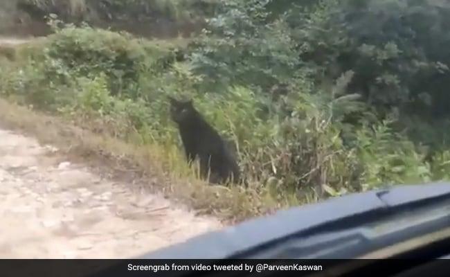 भारत में सड़क पर घूमता दिखा Black Panther, कार को देखते ही किया कुछ ऐसा - देखें Viral Video