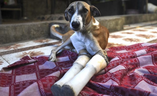 Indian Street Dog's Rocky Road To Recovery Ends In Britain