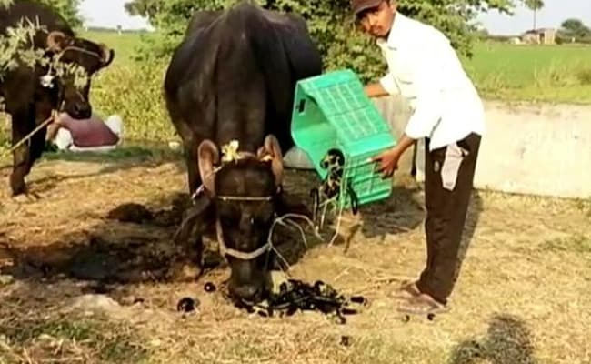 Denied Fair Price In Market, MP Farmers Use Vegetables As Cattle Fodder