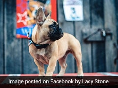 US Town Elects French Bulldog As Mayor
