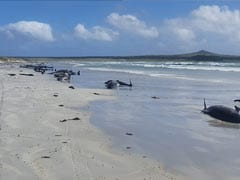 Nearly 100 Whales Dead In New Zealand After Mass Stranding