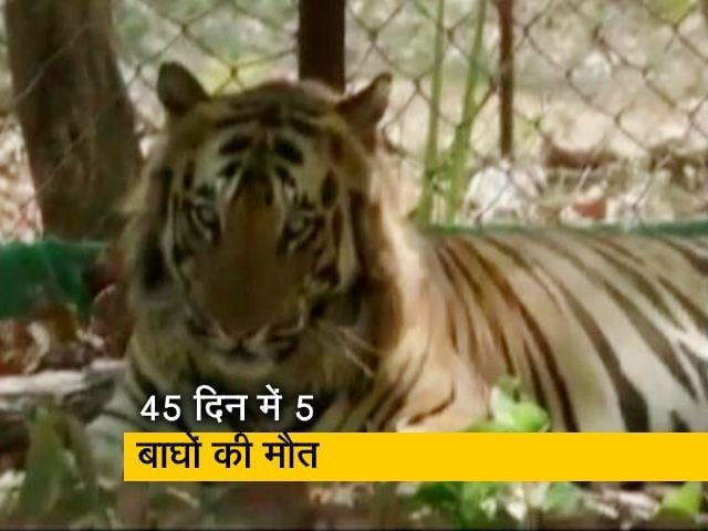 Video : MP में बाघों की लगातार मौतों से खतरे में 'टाइगर स्टेट' का तमगा