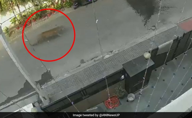 Leopard Spotted In Residential Area Of Ghaziabad. Video Is Viral