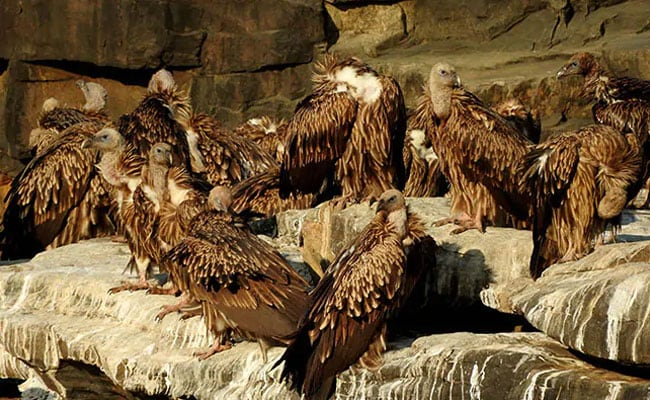 Vultures Often Fly Upto 150 Km Daily In Search Of Food: Study