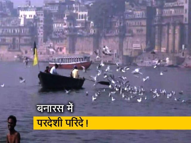 Videos : बनारस में गंगा नदी पर आए साइबेरियन पक्षी