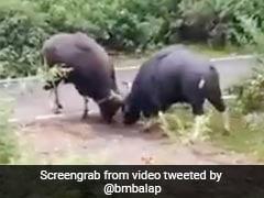 बीच सड़क पर खतरनाक Fight करने लगे दो जंगली भैंसे, सींगों से किया वार और फिर... देखें पूरा Video