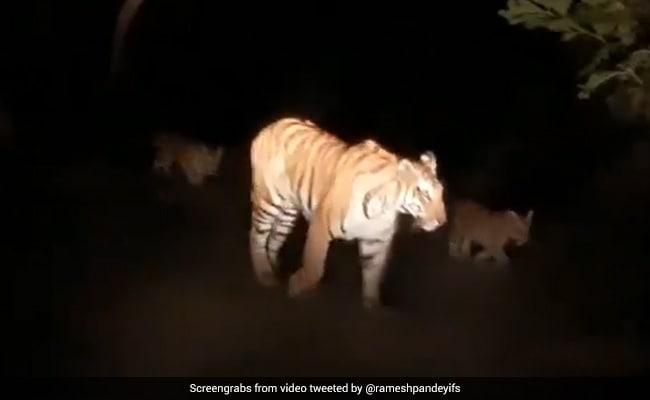 जंगल में अपने बच्चों के साथ घूम रही थी बाघिन, जैसे ही आंखों पर मारी लाइट तो हुआ कुछ ऐसा... देखें पूरा Video