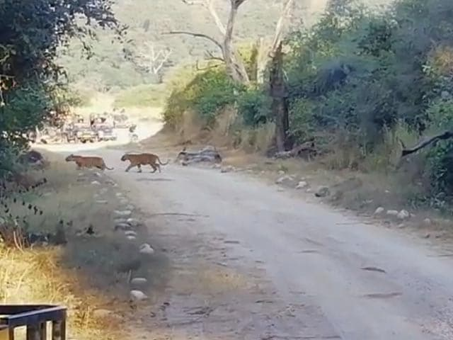Video : Watch: Tigress Crosses Road With Her Four Cubs In Corbett National Park