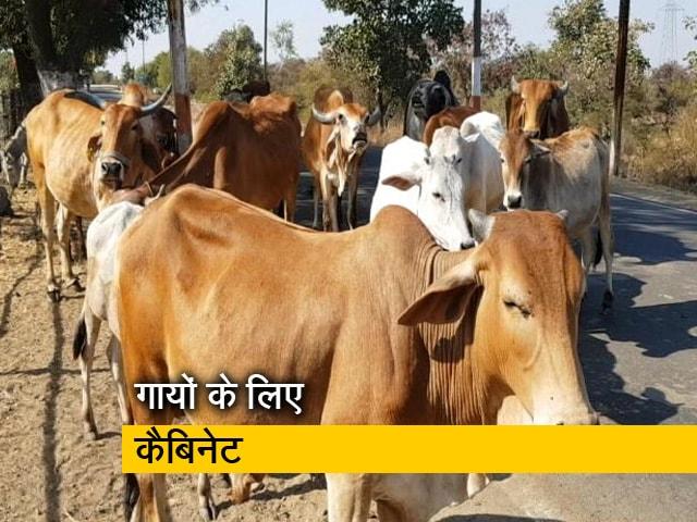 Videos : गायों के लिए शिवराज सरकार ने कैबिनट तो बनाया लेकिन बजट का क्या होगा?
