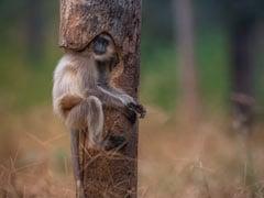 जंगल में शेरनी की तलाश कर रहा था फोटोग्राफर, पेड़ पर ऐसे चिपका बैठा मिला लंगूर - देखें Viral Photo
