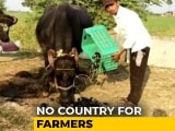 Video : Denied Fair Price In Market, MP Farmers Use Vegetables As Cattle Fodder