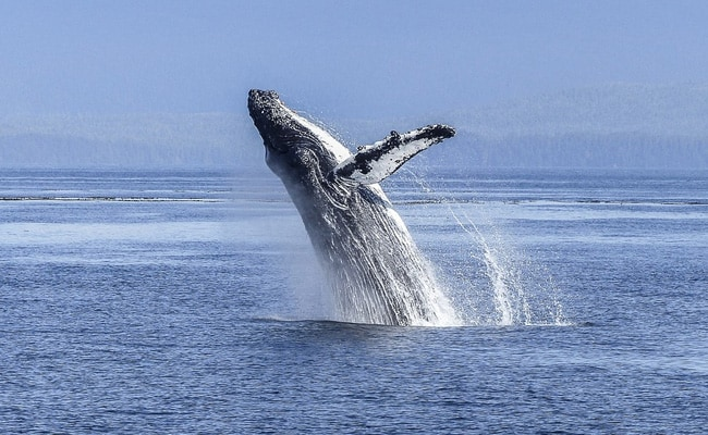 Humpback Whale Capsizes Kayak, Almost Swallows Two People