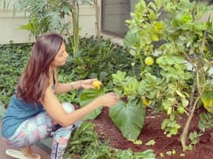 Shilpa Shetty के किचन गार्डन में लगे ढेर सारे नींबू, Video शेयर कर बोलीं- शिकंजी बनाऊंगी...