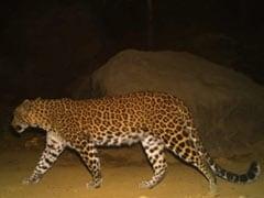 Pregnant Leopardess Killed In Road Accident Near Mumbai