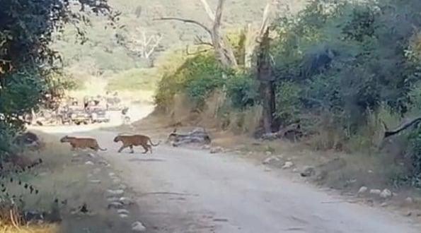 जिम कॉर्बेट पार्क में अपने बच्चों के साथ दिखी बाघिन, फिर हुआ ये, देखें वीडियो