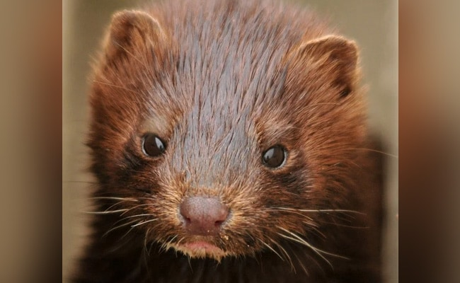 Greece Find COVID-19 Among Mink At Two Farms