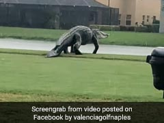 Dinosaur-Like Alligator Spotted On Golf Course During Storm Eta. Watch