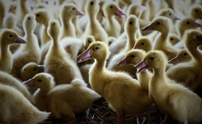 Duck Escapes Mass Culling At Delhi Lake, Falls Sick 3 Days Later