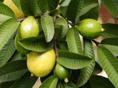 Guava Leaves Hair Mask: बालों को मजबूत बनाने के लिए ट्राई करें ये DIY अमरूद की पत्तियों का हेयर मास्क