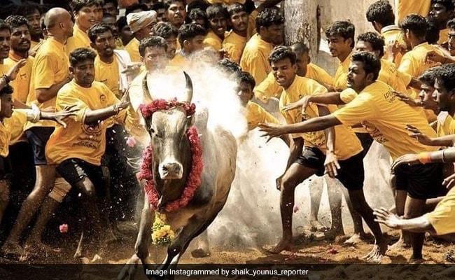 Jallikattu: As Pongal Approaches, Madurai Bull Trainers Gear Up