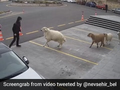 बकरी और भेड़ के झुंड ने मचाया शहर में आतंक, लोगों पर ऐसे किया सींग से Attack - देखें Video