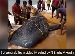 Watch: Kerala Fishermen Free Endangered Whale Shark Caught In Fishing Net