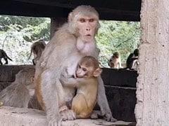 International Monkey Day 2020: आज है इंटरनेशनल मंकी डे, जानें- क्यों मनाया जाता है ये दिन