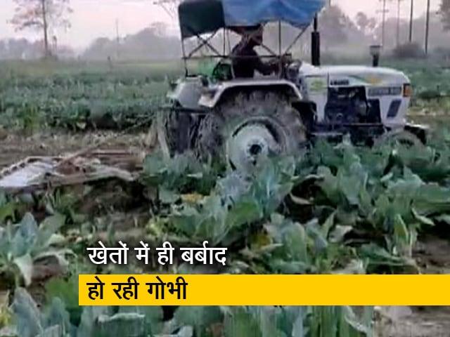 Videos : बिहार में गोभी की तैयार फसल पर किसानों ने चलवाया ट्रैक्टर