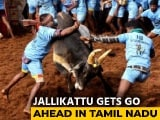 Video : Jallikattu Gets Green Light In Tamil Nadu, But With Restrictions