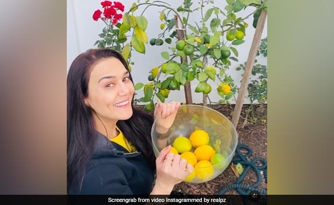 Preity Zinta: Bollywood Preity Zinta Enjoys Farming And Proud As She Plucks Lemons From Kitchen