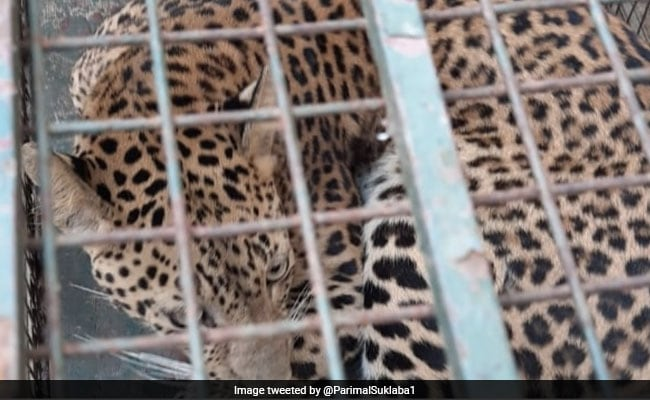 Leopard Strays Into Girls' Hostel In Guwahati, Triggers Panic