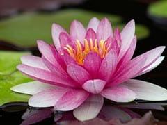 Lotus Oil: त्वचा और बालों के लिए बहुत फायदेमंद है लोटस ऑयल