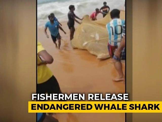 Video : Watch: Kerala Fishermen Free Endangered Whale Shark Caught In Fishing Net