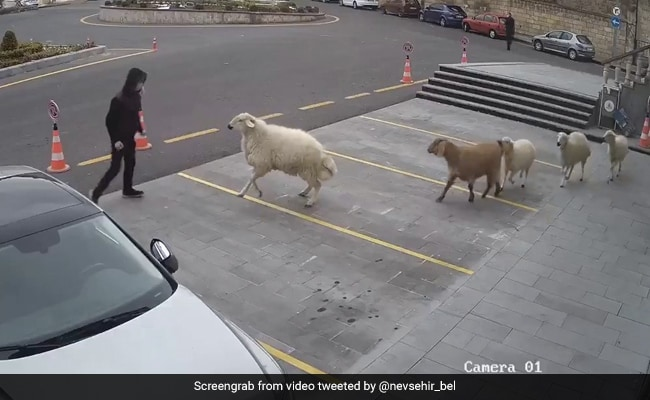 City Terrorized By A Goat, A Sheep And Three Lambs. Watch Viral Video