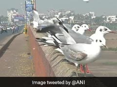 Watch: Migratory Birds, The Brown Headed Gulls, Arrive In Surat