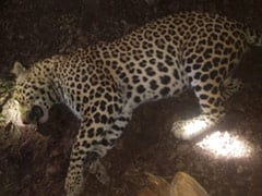 Leopard That Killed 8 People In Maharashtra Shot Dead By Forest Department