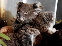 Australia's Bushfires Killed Or Harmed More Than 60,000 Koalas: Report