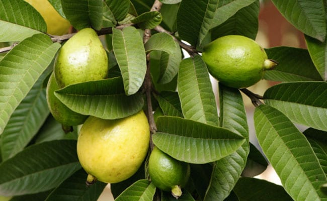 Guava Leaves Face Pack: Use Guava Leaf Face Pack To Get Rid Of The Problem Of Pimples In Summer