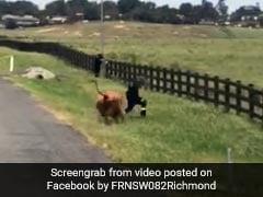 गाय को आया गुस्सा और लगा दी शख्स के पीछे दौड़, सींग मारकर उछाला और फिर... देखें Viral Video