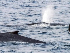New Population of Blue Whale Found In Western Indian Ocean, Say Experts