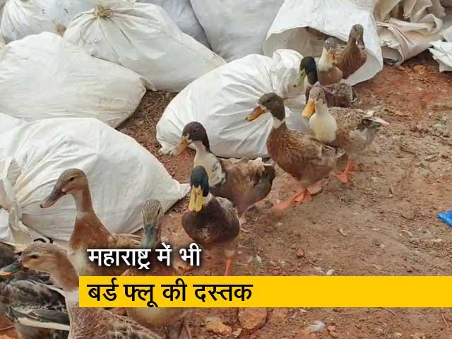 Video : महाराष्ट्र समेत 8 राज्यों में बर्ड फ्लू की पुष्टि, 2 दिन में 800 पक्षियों की मौत
